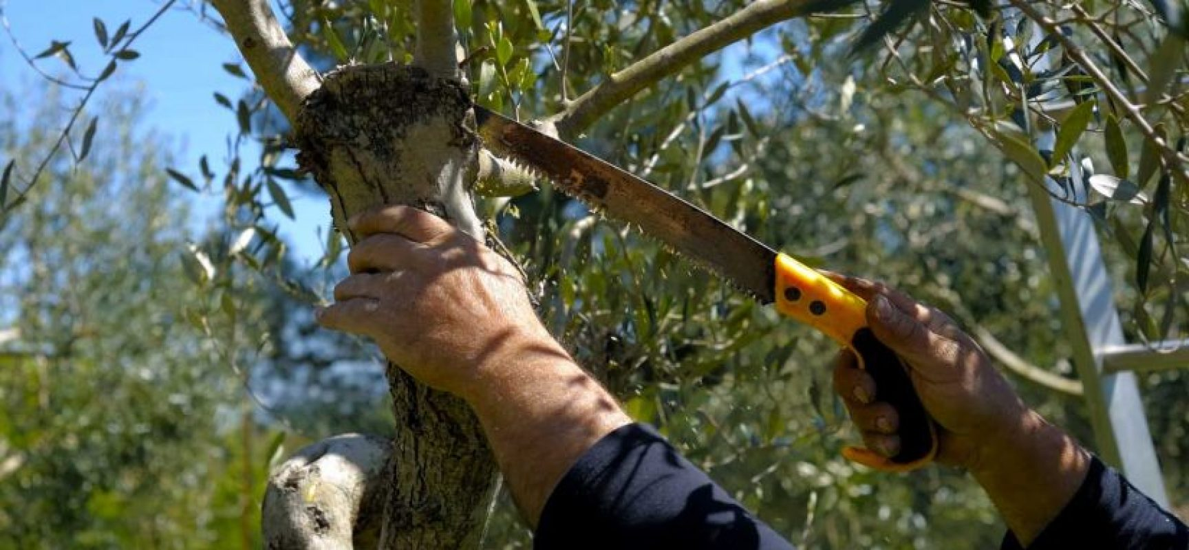 """Controguerra, appuntamenti con il corso di potatura dell'olivo e """"Alle 9 di sera"""""""